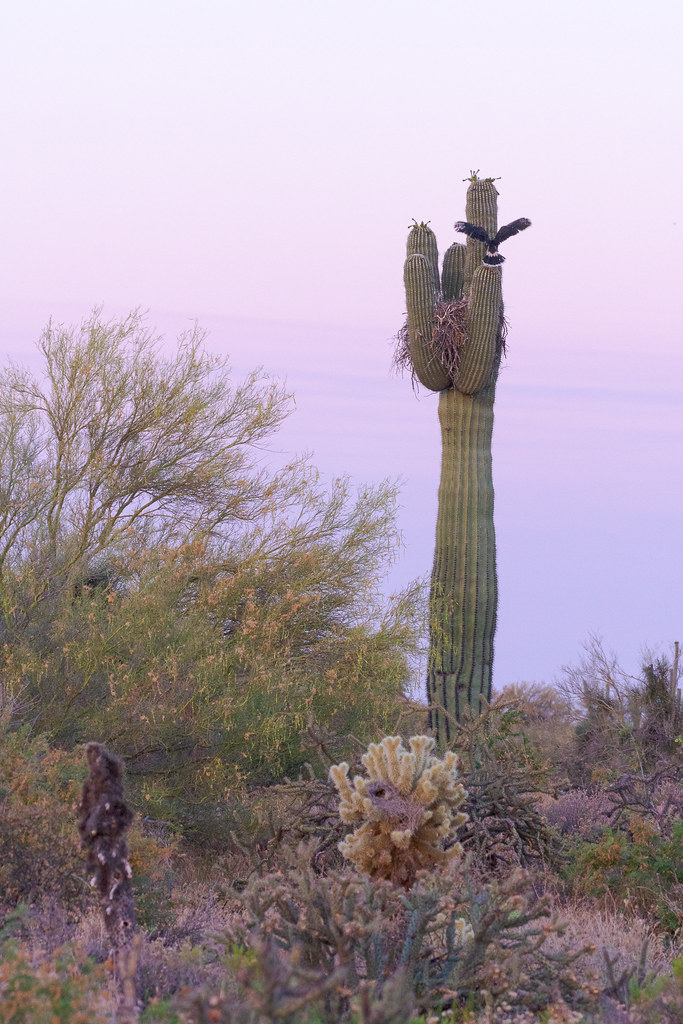 An environmental portrait of a Harris's hawk nestling practicing for flight by moving from one arm of the saguaro holding its nest to another, taken before sunrise on the Chuckwagon Trail in McDowell Sonoran Preserve in Scottsdale, Arizona in June 2019