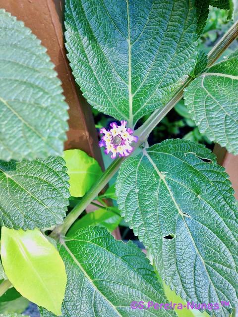 Flor de Erva-Cidreira, Flower of Lemon Balm, F Hills, Brazil
