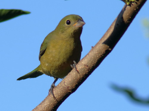 Painted Bunting female 2-20191004