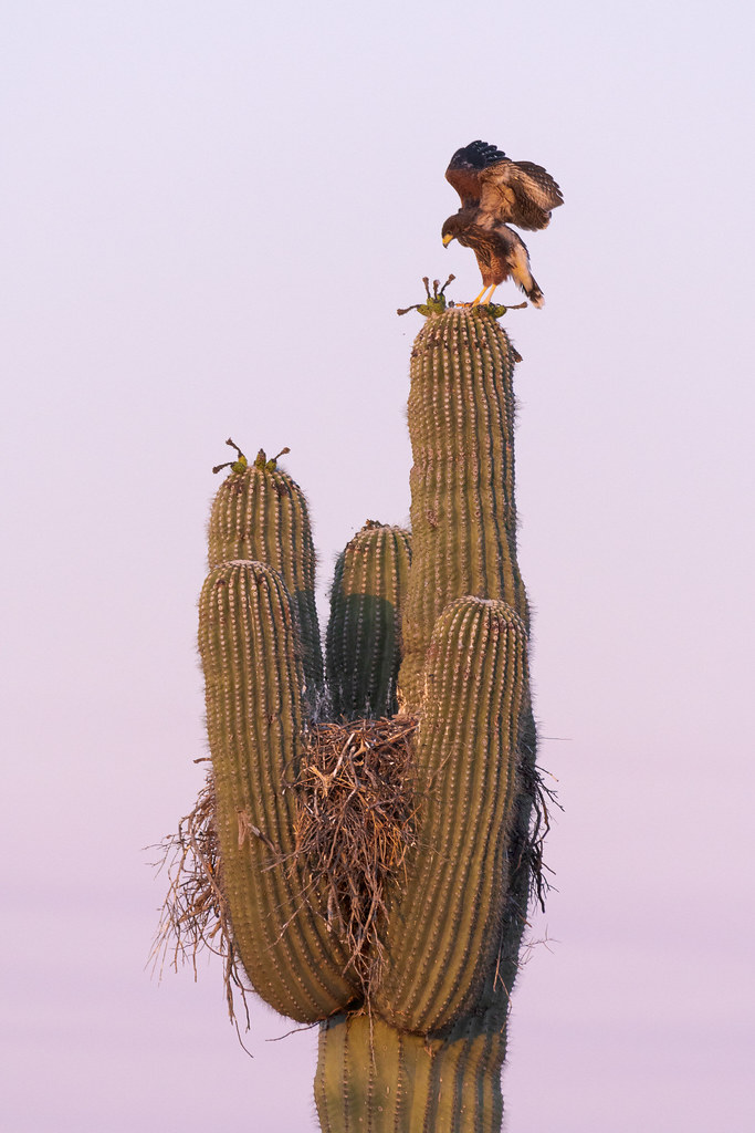 A Harris's hawk nestling spreads its wings as it practices for flight by moving from one arm of the saguaro holding its nest to another, taken at sunrise on the Chuckwagon Trail in McDowell Sonoran Preserve in Scottsdale, Arizona in June 2019