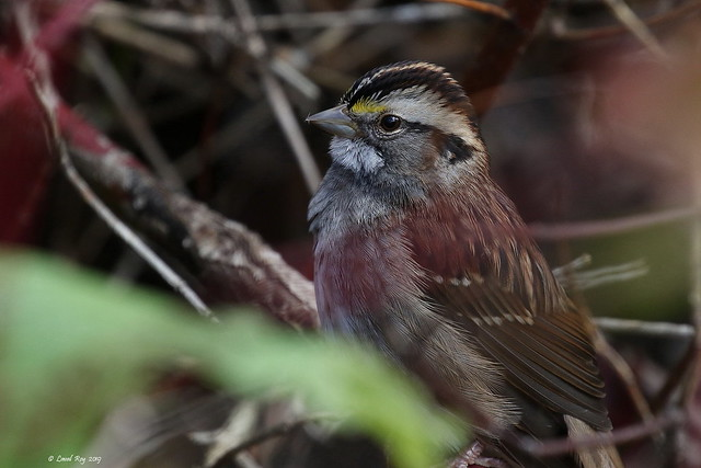 1.29721 Bruant à gorge blanche / Zonotrichia albicollis / White-throated Sparrow