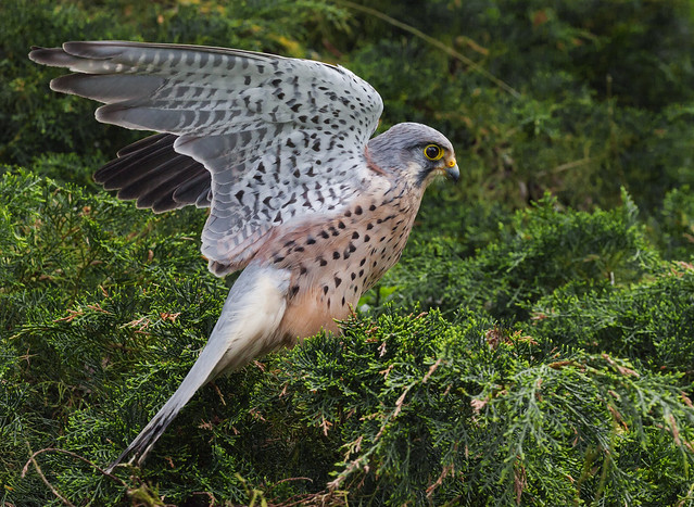Kestrel flapping in a cypressus tree