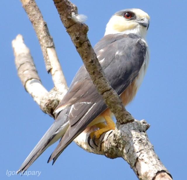 Gaviãozinho - Gampsonyx swainsonii-Pearl Kite