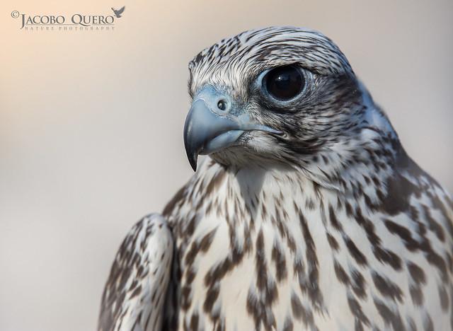 Halcón gerifalte/ Gyrfalcon (Falco rusticolus)