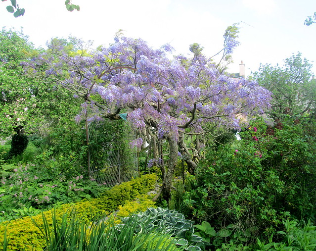 lilac flowers, Broughton House Garden, Dumfries and Galloway