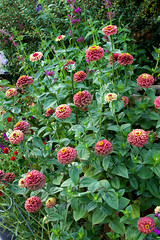 zinnia_queen_red_lime_habit