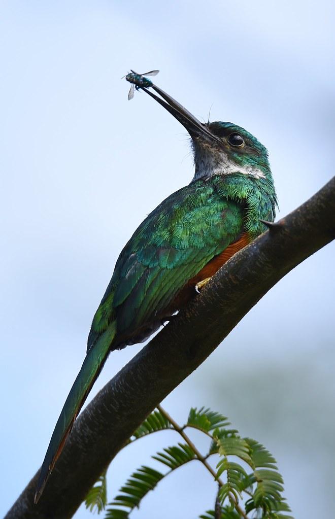 Ariramba-de-cauda-ruiva / Rufous-tailed Jacamar