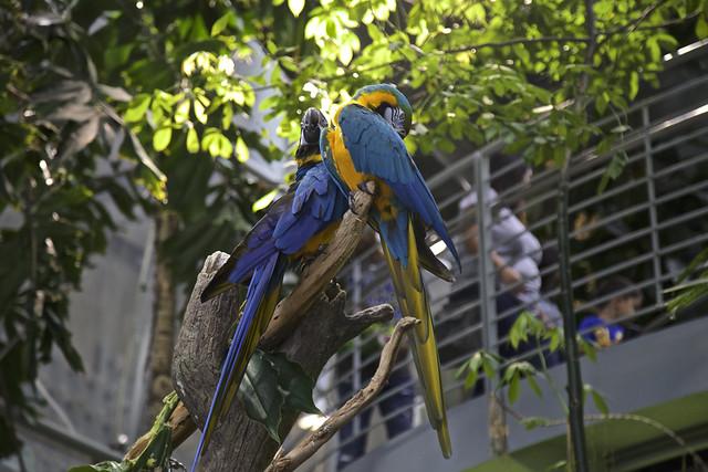 Double Macaw