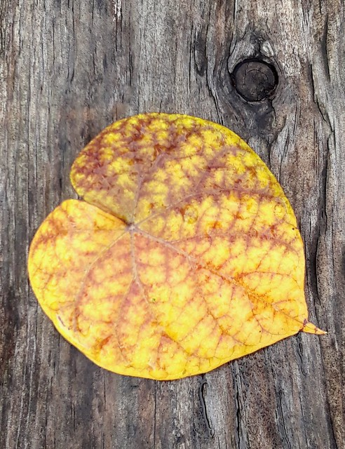 Yellow Leaf with Veins on Board with Knothole