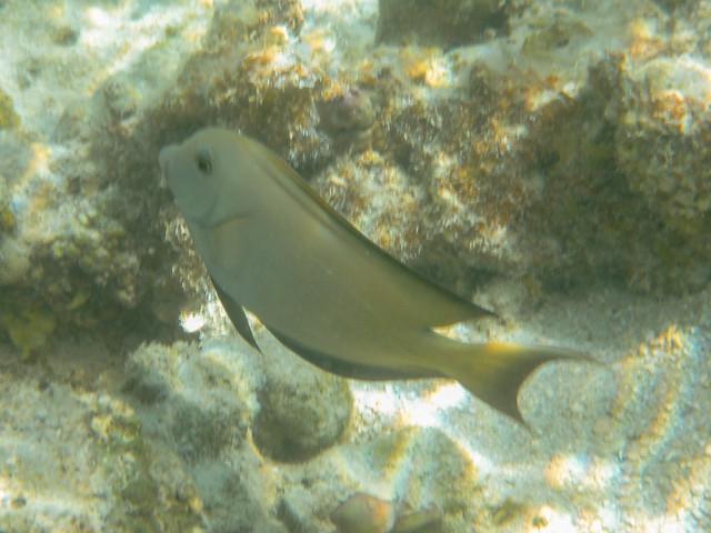 Acanthurus bariene (Black-spot Surgeonfish)
