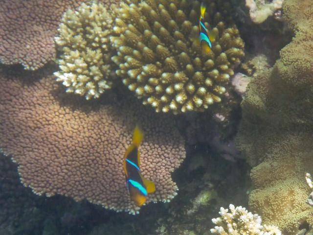 Amphiprion chrysopterus (Orangefin Anenome Fish)
