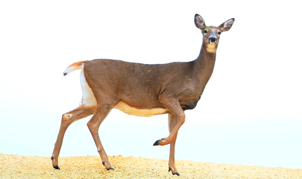 white-tailed deer doe near Cardinal Marsh IA 653A4688