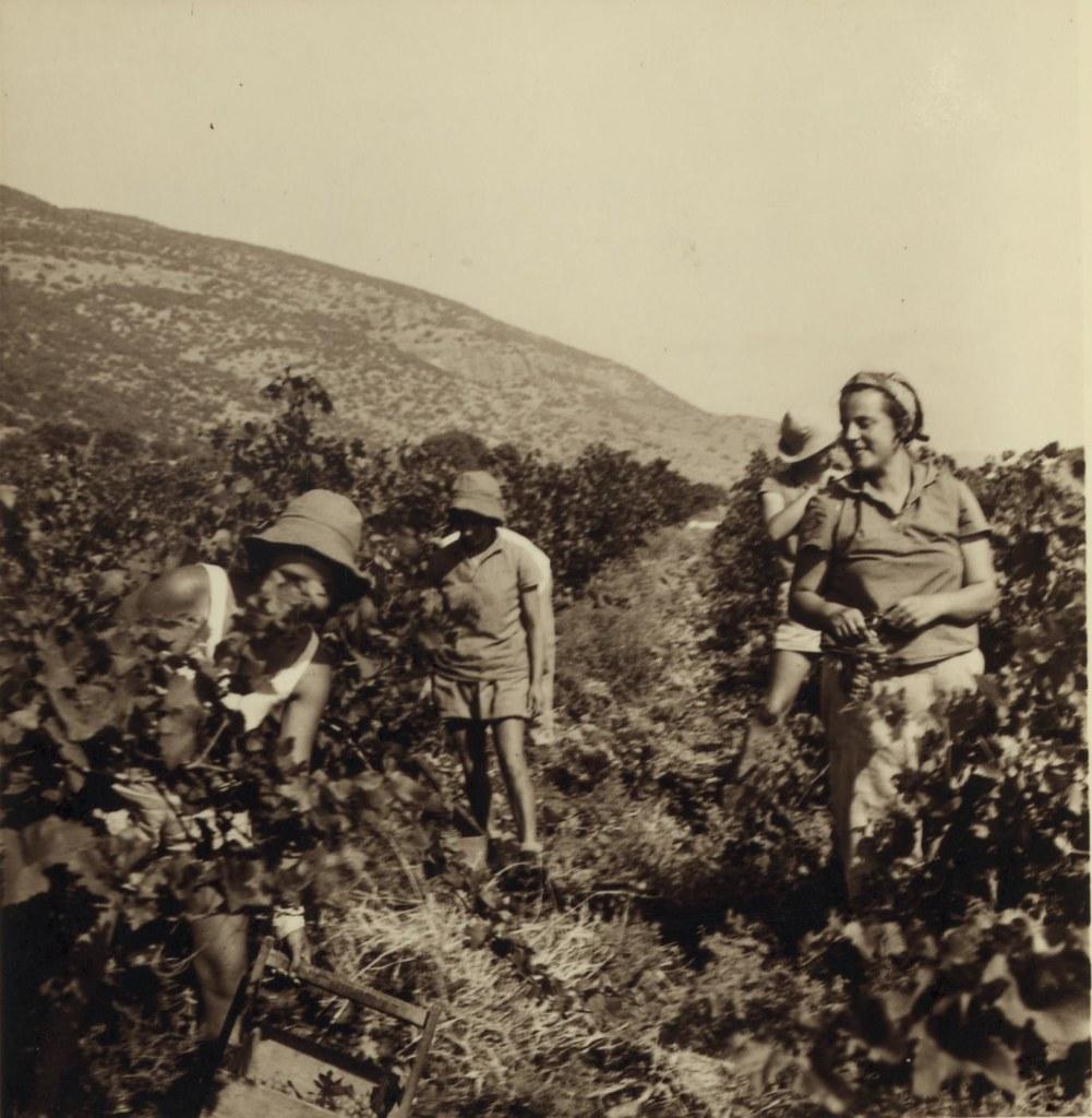 21. 6 июля. Подножие горы Кармель. Девушки-кибуцницы собирают ранний столовый виноград для рынка Хайфы