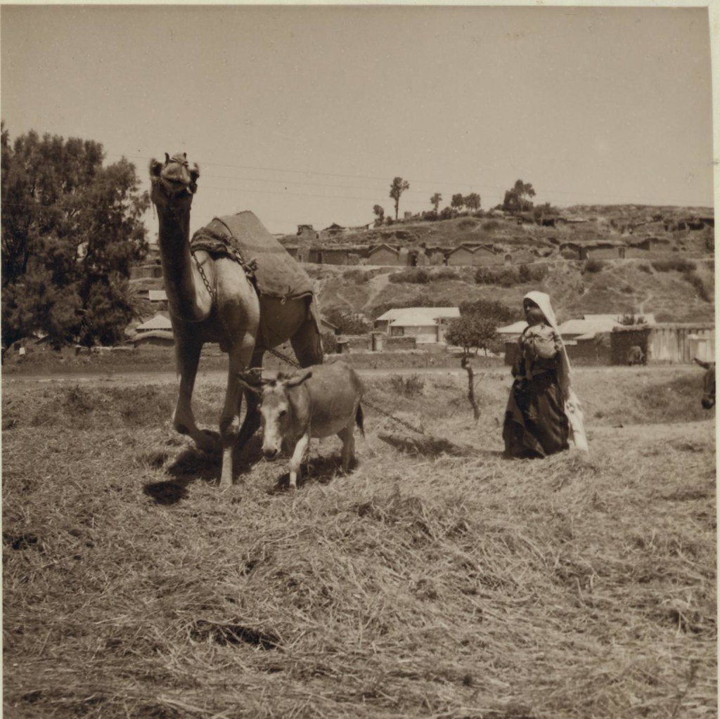 10. 3 июля. Ашдод, Молотьба с верблюдом и ослом