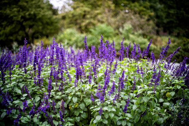 _DSC7599 Purple Flower