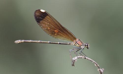 Copper Demoiselle (Calopteryx haemorrhoidalis) female...