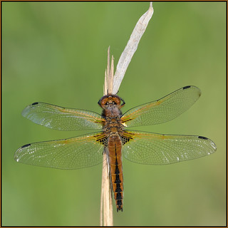 Newly Emerged Scarce Chaser (image 4 of 4)