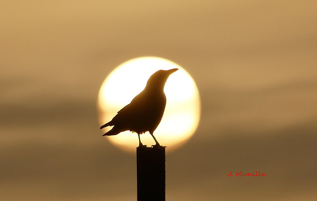 Cuervo tomando el sol en Burela l_MG_5842