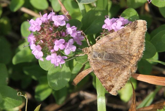 Lomnice - Euclidia glyphica/Burnet Companion Moth /Jetelovka hnědá 0200