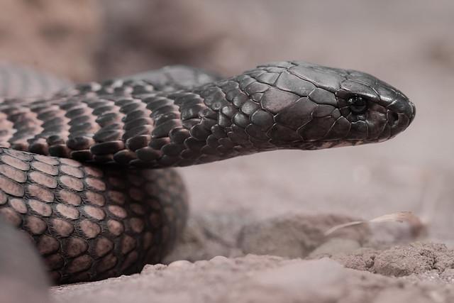 Arabische Kobra