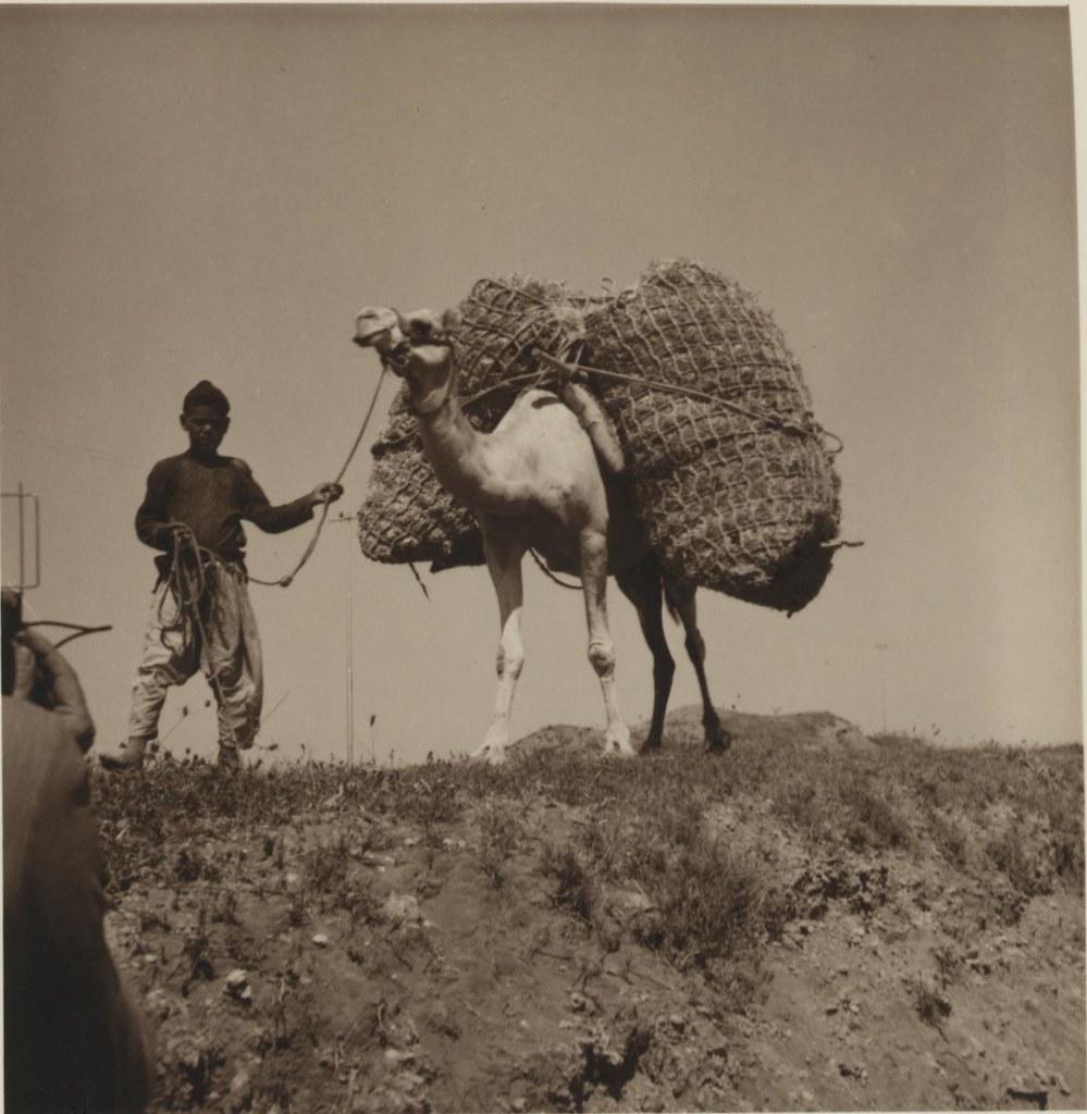 12. 3 июля. Нагруженный верблюд идет в Газу
