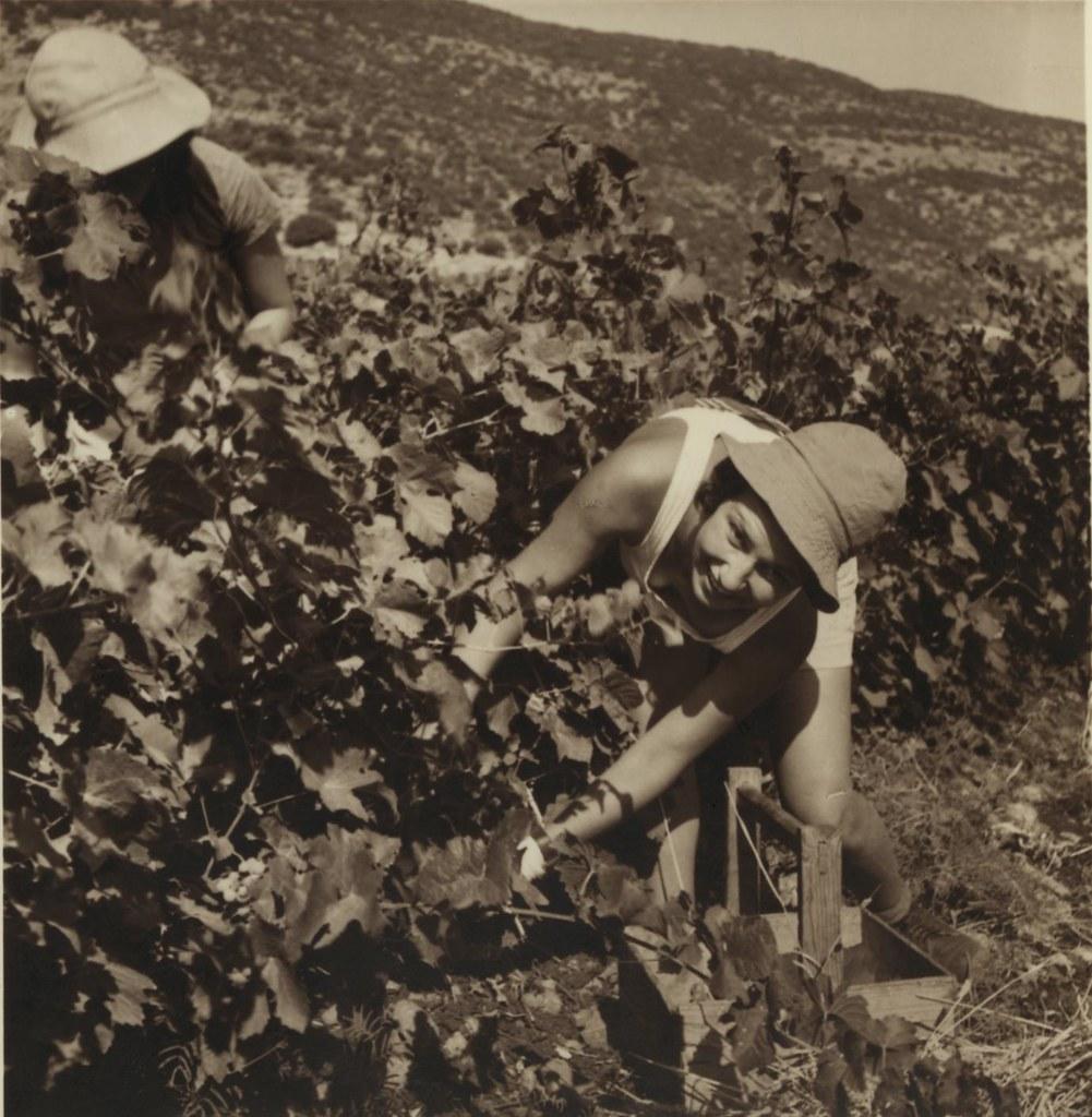 22. 6 июля. Подножие горы Кармель. Девушки-кибуцницы собирают ранний столовый виноград для рынка Хайфы1