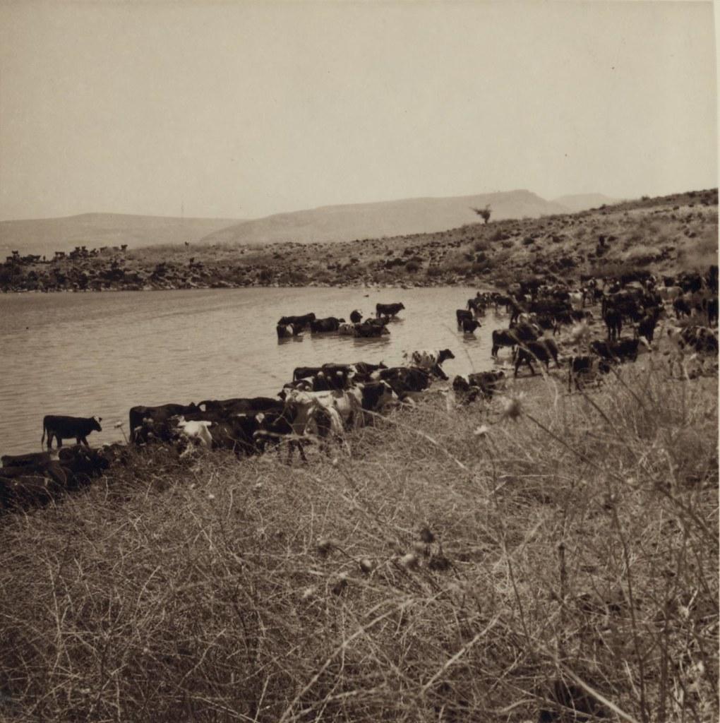 19. 5 июля. Телль-Хум (Кфар-Нахум). Скот на водопое