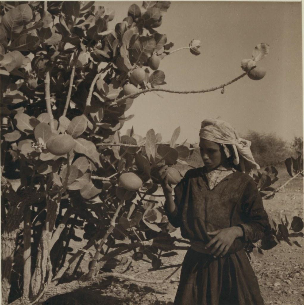01. 30 июня. Дерево Ошр (яблоко Содома)