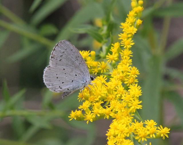 Tišnov - Celastrina argiolus/Holly Blue/Modrásek krušinový, Solidago canadensis/Zlatobýl kanadský/Canada Goldenrod 0592
