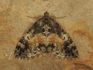 Common Marbled Carpet (Dysstroma truncata)