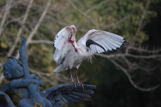 Ibis and cherub