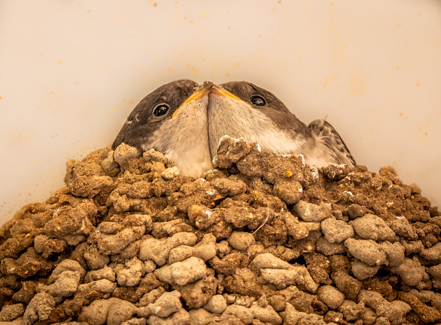 House Martin fledglings