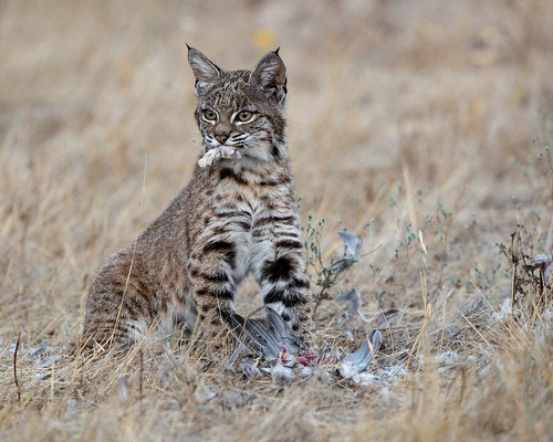 Young Bobcat Dining On Dove