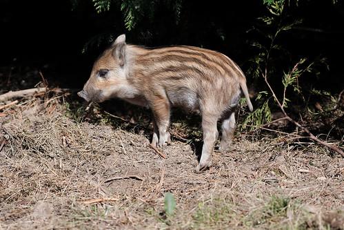 Wild Boar piglet(humbug)