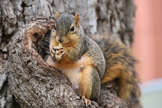 115/366/4132 (October 4, 2019) - Juvenile and Adult Fox Squirrels in Ann Arbor at the University of Michigan - October 4th, 2019