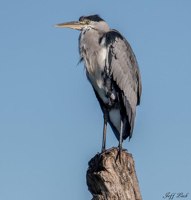 DSC8854  Grey Heron...