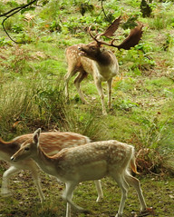 10730 The Start of The Rut, Knole Park