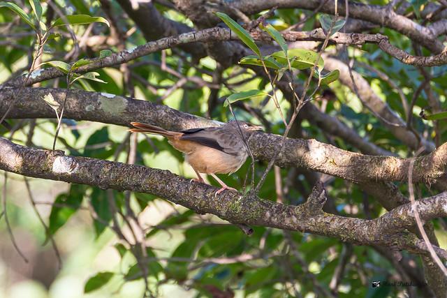 Jungle Babbler