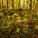 Aspen Forest Floor