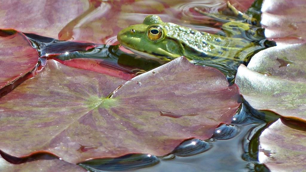 frosch auf seerosenblatt  botanischer garten augsburg