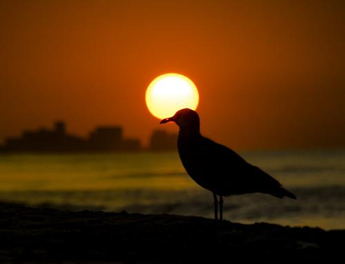 seagull bird destin destinflorida florida beach gulfofmexico sunrise