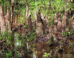 Goblins?, no just Tree Knuckles, Congaree National Park, South Carolina
