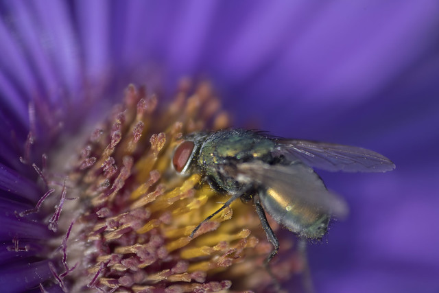 Fly in the asters