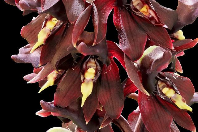 Catasetum sanguineum var vinaceum P