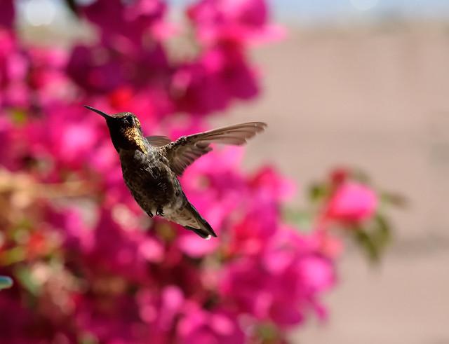 Colibrí de Anna (Calypte anna) (Nikon D3300 DSC_2098)