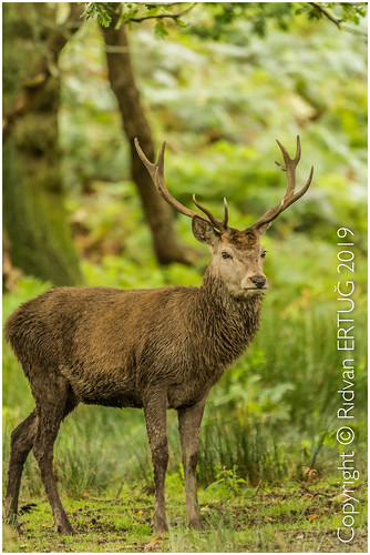 "reddeer cervuselaphus nikond610fx ""nikonflickraward"" nikkor200500mm bradgate bradgatepark leicestershire charnwood uk rertug ertug"