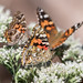 Painted Ladies (and one American lady) on Boneset