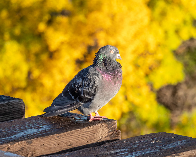 pigeon and fall colors