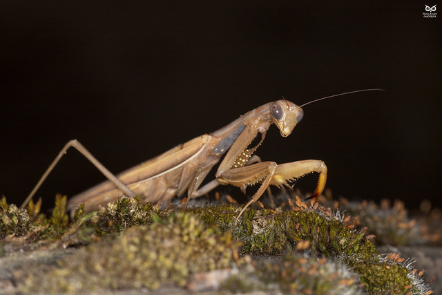 Louva-a-deus, Praying Mantis(Mantis religiosa)