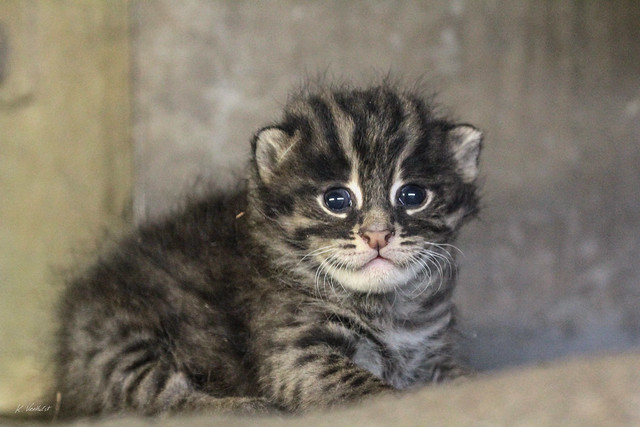 Kitten Fishing Cat